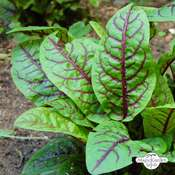 Bloody dock, red veined sorrel (Rumex sanguineus)