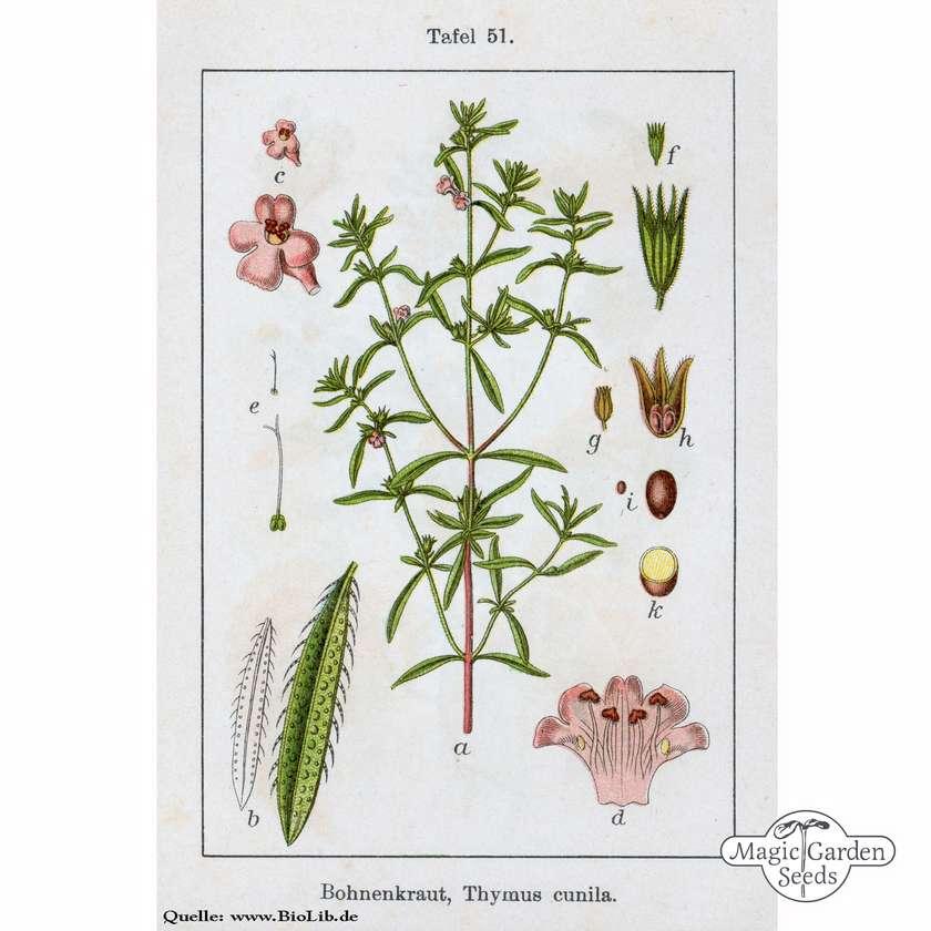 1000//6000 seeds common garden savory satureja hortensis herb