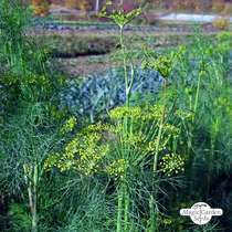 Dill (Anethum graveolens) conventional #3