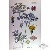 Dill (Anethum graveolens) conventional #4