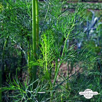 Dill (Anethum graveolens) conventional