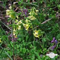 Common cowslip (Primula veris) organic #2