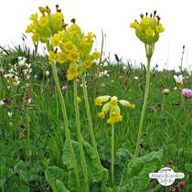 Common cowslip (Primula veris) organic #4