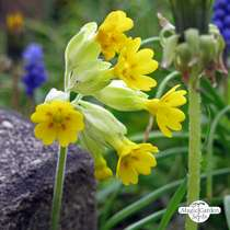 Common Cowslip (Primula veris) #3
