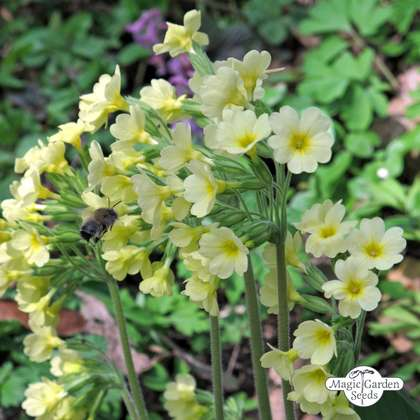 Common cowslip (Primula veris)