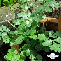 Flat-Leaved Chervil (Anthriscus cerefolium) #0