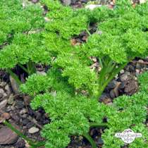 Curly leaf parsley (Petroselinum crispum) #1