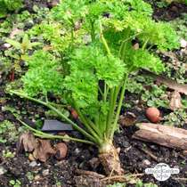 Curly leaf parsley (Petroselinum crispum) conventional #2
