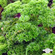 Curly leaf parsley (Petroselinum crispum) conventional #0