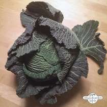 May Savoy Cabbage 'Bonner Advent' (Brassica oleracea convar. capitata var. sabauda L.) #2