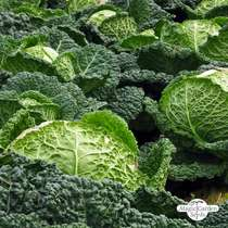 May Savoy Cabbage 'Bonner Advent' (Brassica oleracea convar. capitata var. sabauda L.) #0