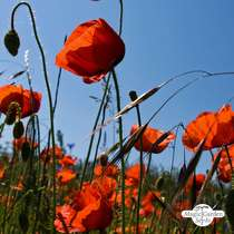 Corn Poppy (Papaver rhoeas) #4