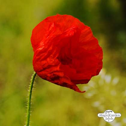 Corn Poppy (Papaver rhoeas)