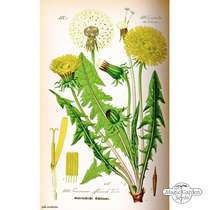Common Dandelion (Taraxacum officinale) #3