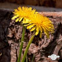 Common Dandelion (Taraxacum officinale) #0