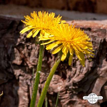 Common Dandelion (Taraxacum officinale)