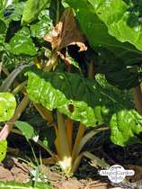 Yellow Swiss Chard 'Bright Yellow' (Beta vulgaris subsp. vulgaris) - bulk quantity (10g / approx. 300 seeds) #1