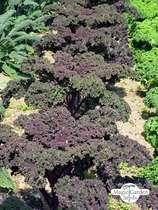 Red Russian Curly Kale (Brassica oleracea convar. acephala var. sabellica) - bulk quantity (10g / approx. 2000 seeds) #1