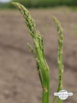 "Green asparagus ""Mary Washington"" (Asparagus officinalis) - bulk quantity (10g / approx. 500 seeds) #1"