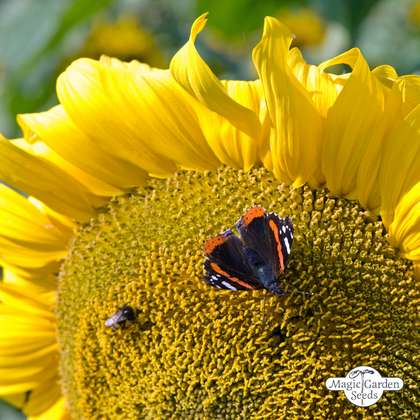 Common sunflower (Helianthus annuus) packet