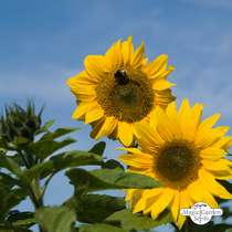 Common sunflower (Helianthus annuus) bulk quantity - conventional (20g / 200 seeds) #1