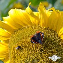 Common sunflower (Helianthus annuus) bulk quantity - conventional (20g / 200 seeds) #2
