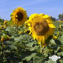 Common sunflower (Helianthus annuus) bulk quantity - conventional (20g / 200 seeds) #3