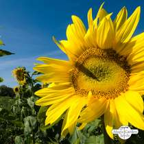 Common sunflower (Helianthus annuus) bulk quantity - conventional (20g / 200 seeds) #4