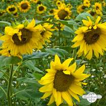 Common sunflower (Helianthus annuus) packet #1