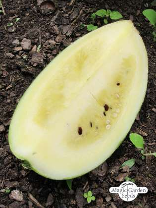 Watermelon 'Cream of Saskatchewan' (Citrullus lanatus)