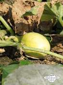 Apple Cucumber (Cucumis sativus)