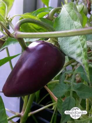 Chili Pepper 'Czech Black' (Capsicum annuum)