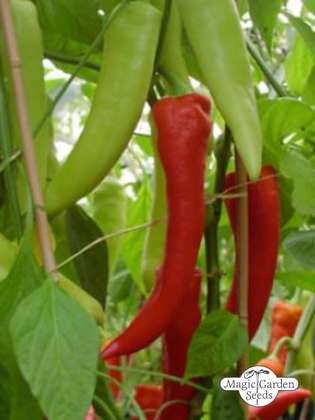 Sweet Banana Pepper (Capsicum annuum)