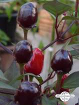 Chili pepper 'Peruvian Purple' (Capsicum frutescens) #0