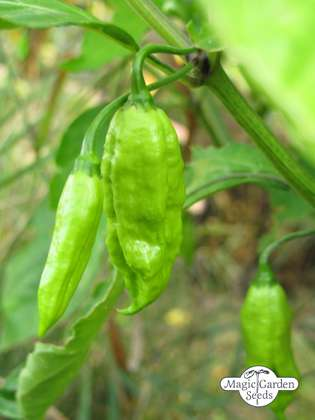 Chili pepper 'Monkeyface' (Capsicum annuum)