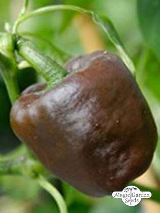 Chili pepper 'Chilhuacle Negro' (Capsicum annuum)