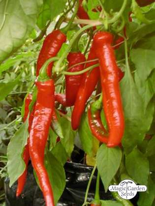 Chili pepper 'Red Hot Odessa' (Capsicum annuum)
