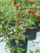 Chili pepper 'Pimenta Barra Do Ribeiro' (Capsicum baccatum) #0