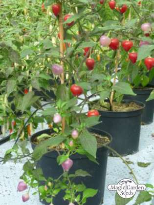 Chili pepper 'Pimenta Barra Do Ribeiro' (Capsicum baccatum)