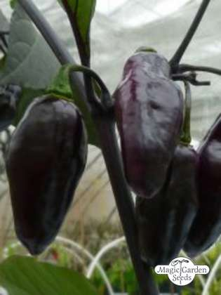 Purple Pepper 'Pimenta Da Neyde' (Capsicum chinense x annuum)