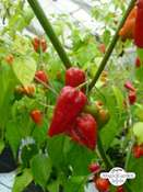 Very Hot Chili Pepper 'Naga Morich' (Capsicum chinense)