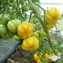 Heirloom Beef Tomato 'Yellow Ruffled' (Solanum lycopersicum) #0