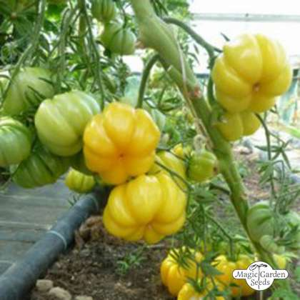 Heirloom Beef Tomato 'Yellow Ruffled' (Solanum lycopersicum)
