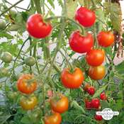 Tomato 'Outdoor Girl' (Solanum lycopersicum)