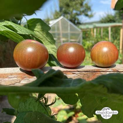 Black Sweet Cherry Tomato (Solanum lycopersicum)