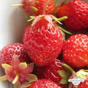 Strawberry 'Rote Baron Solemacher' (Fragaria vesca var. semperflorens)