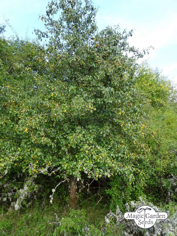 Wild pear Pyrus pyraster 20 seeds
