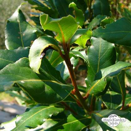 Laurel, bay tree (Laurus nobilis)