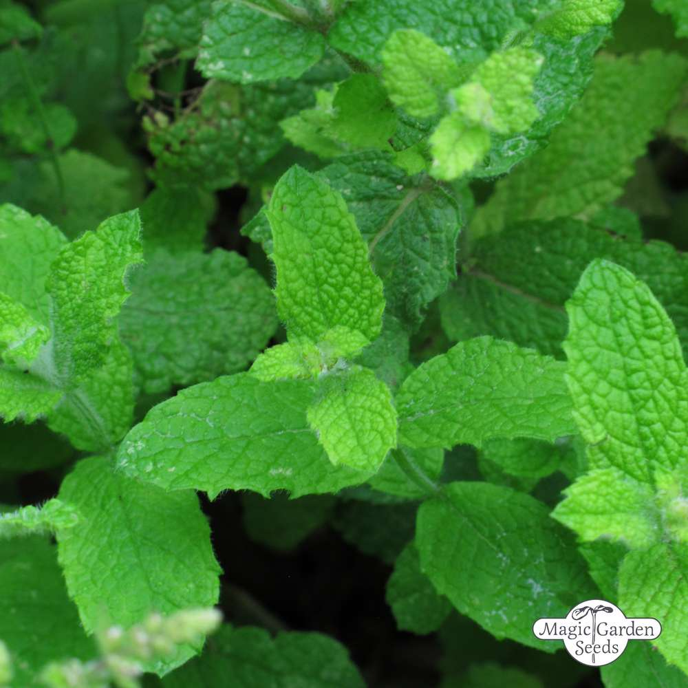 10//40 Seeds Mint Fragrant Apple Leaves round Mentha Aromatic Perennial