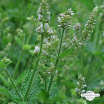 Round leaved mint, Egyptian mint (Mentha suaveolens) #2